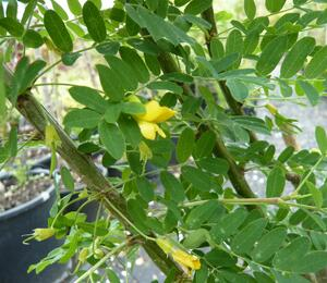 Čimišník stromový - Caragana arborescens