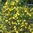Zákula japonská 'Pleniflora' - Kerria japonica 'Pleniflora'