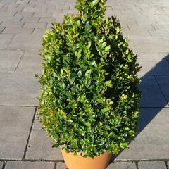 Zimostráz obecný - kužel - Buxus sempervirens - kužel
