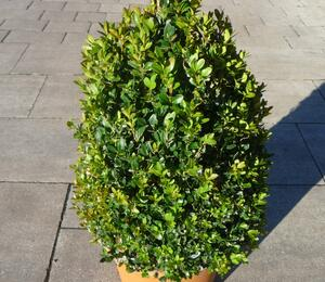 Zimostráz obecný - Buxus sempervirens - kužel