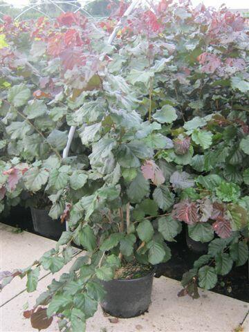 Líska největší 'Purpurea' - Corylus maxima 'Purpurea'