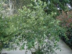 Svída střídavolistá - Cornus alternifolia
