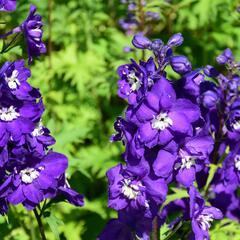 Ostrožka vyvýšená 'New Millenium Purple Passions' - Delphinium elatum 'New Millenium Purple Passions'