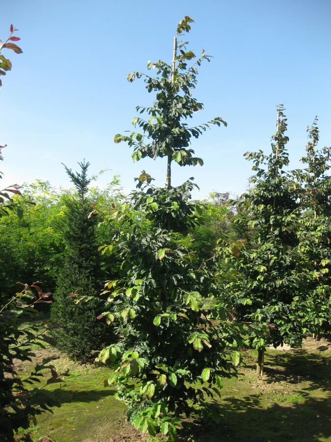 Parotie perská - Parrotia persica