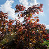 Javor dlanitolistý 'Bloodgood' - Acer palmatum 'Bloodgood'