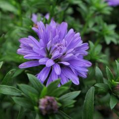 Hvězdnice novobelgická 'Almira Double Blue' - Aster novi-belgii 'Almira Double Blue'