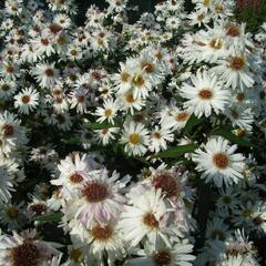 Hvězdnice novobelgická 'Almira White' - Aster novi-belgii 'Almira White'
