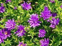 Hvězdnice novobelgická 'Almira Purple' - Aster novi-belgii 'Almira Purple'