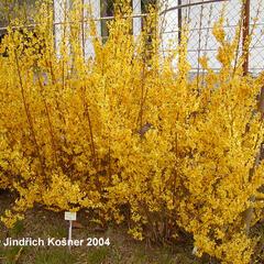 Zlatice prostřední 'Weekend' - Forsythia intermedia 'Weekend'