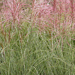 Ozdobnice čínská 'Morning Light' - Miscanthus sinensis 'Morning Light'