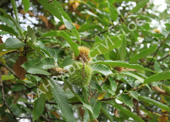 Kaštanovník setý - Castanea sativa