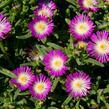 Kosmatec 'Wheels of Wonder Violet' - Delosperma hybrida 'Wheels of Wonder Violet'