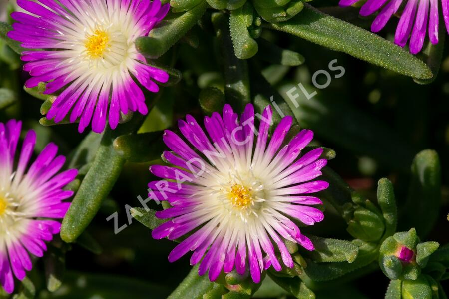 Kosmatec 'Wheels of Wonder Fire' - Delosperma hybrida 'Wheels of Wonder Violet'