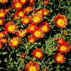Kosmatec 'Wheels of Wonder Fire' - Delosperma hybrida 'Wheels of Wonder Fire'