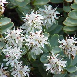 Hebe tučnolisté 'Sutherlandii' - Hebe pinguifolia 'Sutherlandii'