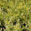 Levandule 'Meerlo' - Lavandula allardii 'Meerlo'