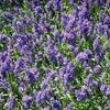 Levandule úzkolistá 'Aromatico Autumn Blue' - Lavandula angustifolia 'Aromatico Autumn Blue'