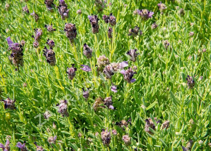 Levandule korunkatá 'Bandera Purple' - Lavandula stoechas 'Bandera Purple'