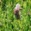 Levandule korunkatá 'Bandera Pink' - Lavandula stoechas 'Bandera Pink'