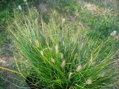 Dochan psárkovitý 'Little Bunny' - Pennisetum alopecuroides 'Little Bunny'