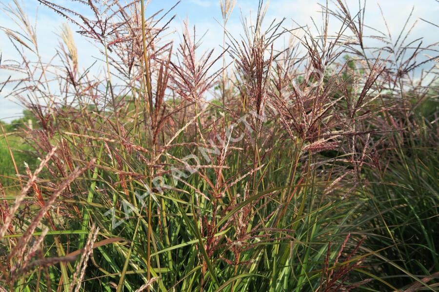Ozdobnice čínská 'Ferner Osten' - Miscanthus sinensis 'Ferner Osten'