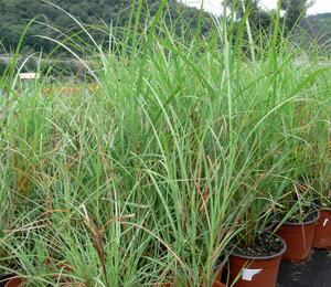 Ozdobnice čínská 'Adagio' - Miscanthus sinensis 'Adagio'