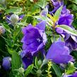 Boubelka 'Codo Double Blue' - Platycodon grandiflorus 'Codo Double Blue'