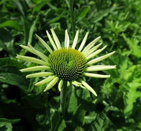 Třapatka nachová 'Feeling White' - Echinacea purpurea 'Feeling White'