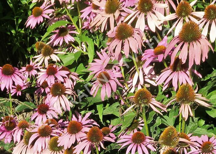 Třapatka nachová 'Feeling Pink' - Echinacea purpurea 'Feeling Pink'