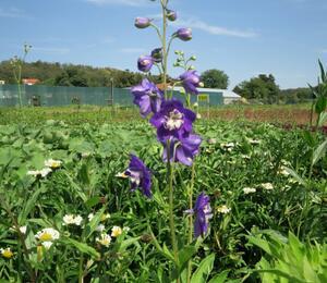 Ostrožka 'Jupiter Purple' - Delphinium x cult. 'Jupiter Purple'
