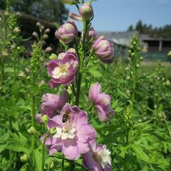 Ostrožka 'Jupiter Pink' - Delphinium x cult. 'Jupiter Pink'