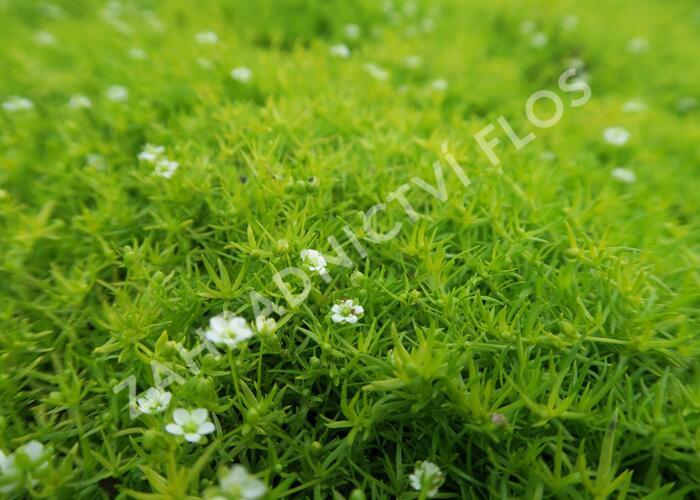 Úrazník 'Moss Lime' - Sagina subulata 'Moss Lime'