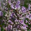 Levandule úzkolistá 'Rosea' - Lavandula angustifolia 'Rosea'