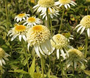 Třapatka nachová 'Papallo Semi Double White' - Echinacea purpurea 'Papallo Semi Double White'