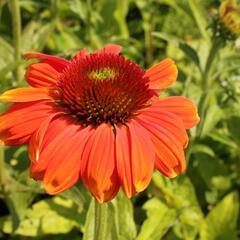 Třapatka nachová 'Papallo Classic Orange-Rose' - Echinacea purpurea 'Papallo Classic Orange-Rose'