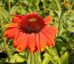 Třapatka nachová 'Papallo Classic Orange-Rose' - Echinacea purpurea 'Papallo Classic Orange-Rose'