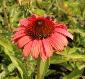 Třapatka nachová 'Papallo Classic Deep Rose' - Echinacea purpurea 'Papallo Classic Deep Rose'