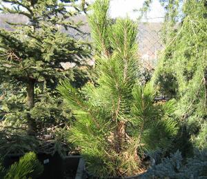 Borovice černá 'Pyramidalis' - Pinus nigra 'Pyramidalis'