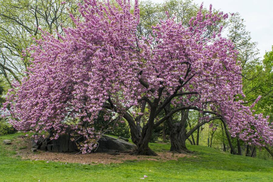 Višeň pilovitá 'Kanzan' - Prunus serrulata 'Kanzan'