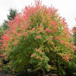 Javor červený - Acer rubrum
