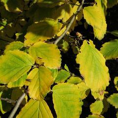Vilín virginský - Hamamelis virginiana