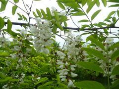 Trnovník akát - Robinia pseudoacacia