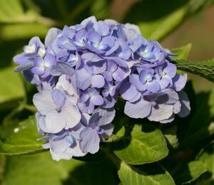 Hortenzie velkolistá 'Bodensee' - Hydrangea macrophylla 'Bodensee'