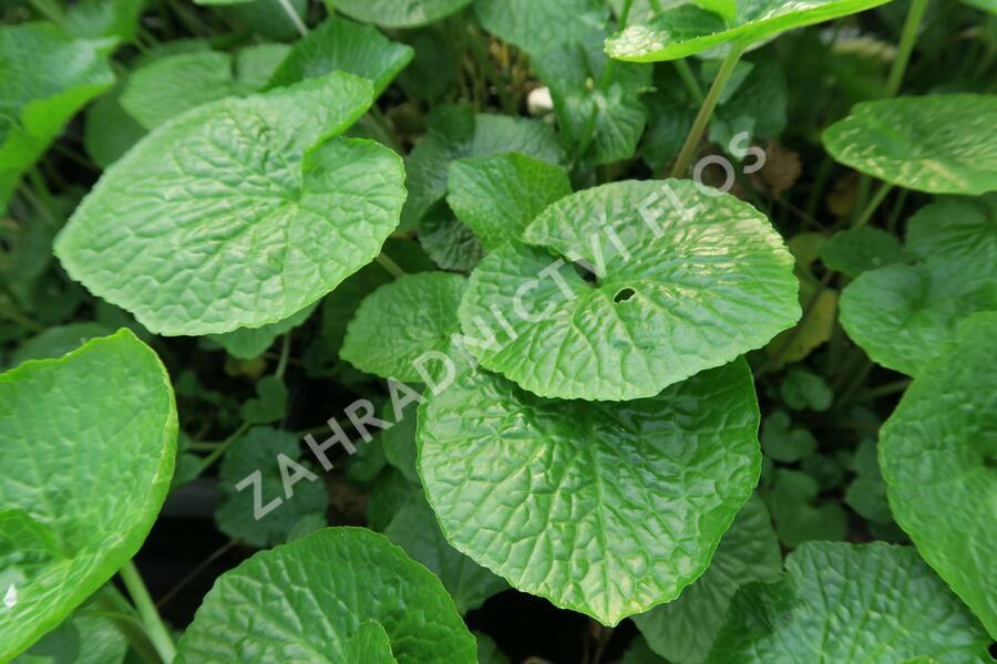 Wasabi 'Mephisto Green' - Wasabia japonica 'Mephisto Green'