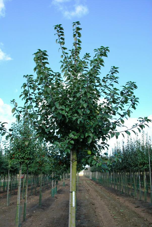 Jabloň lesní - Malus sylvestris