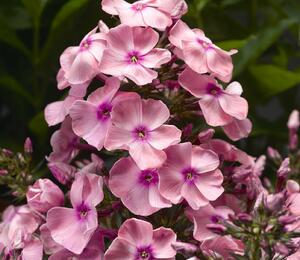 Plamenka latnatá 'Sweet Summer Compact Pink with Eye' - Phlox paniculata 'Sweet Summer Compact Pink with Eye'
