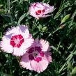 Hvozdík péřitý 'Angel of Peace' - Dianthus plumarius 'Angel of Peace'
