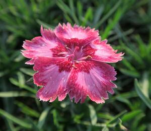 Hvozdík péřitý 'Angel of Desire' - Dianthus plumarius 'Angel of Desire'