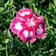 Hvozdík péřitý 'Angel of Desire' - Dianthus plumarius 'Angel of Desire'
