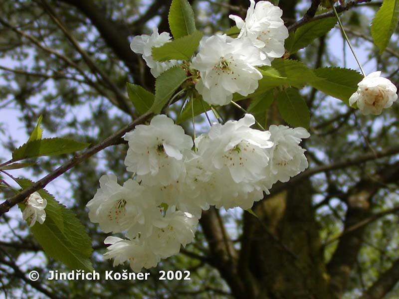 Třešeň ptačí 'Plena' - Prunus avium 'Plena'